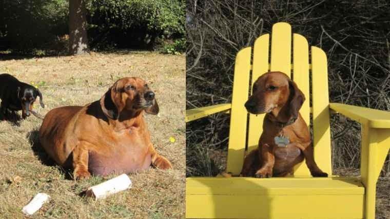 como bajar de peso a un perro salchicha