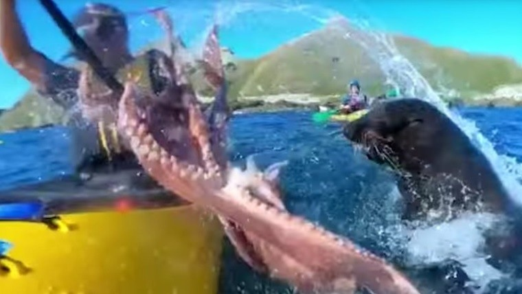 Una foca lo 'abofetea' con un pulpo mientras se divierte en su kayak - Las Noticias de Chihuahua