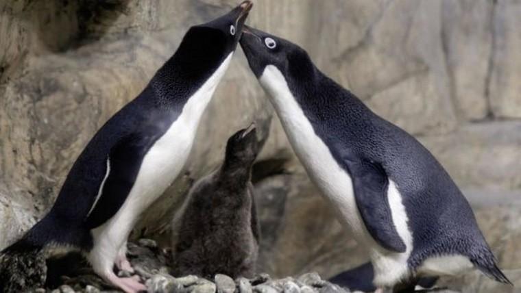 Pareja de pingüinos gay secuestraron a cría