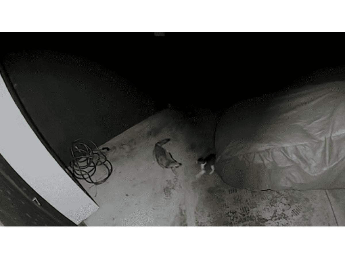 Video: un gato se peleó con un coyote y lo puso en fuga
