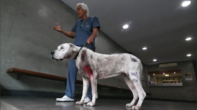 Persona declaración Equipo de juegos  Una perra dogo salvó a su familia de ladrones armados y terminó herida de  bala | Rosario3