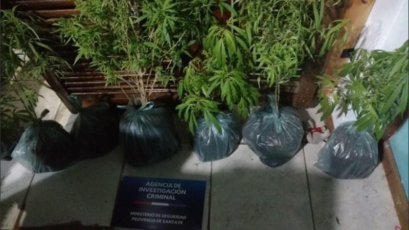 Las plantas secuestradas en la casa de zona sur.
