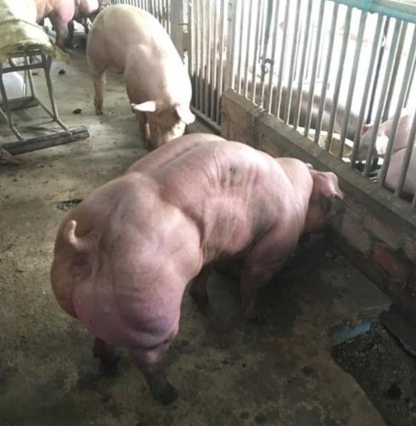 Granja de Camboya presume cerdos mutantes y megafornidos